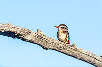 Brown Hooded Kingfisher perched on a dead branch, Mount Camdeboo, Eastern Cape, South Africa