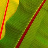 La Mancha del Plátano