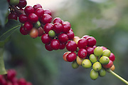 Kona coffee beans, Island of Hawaii<br />