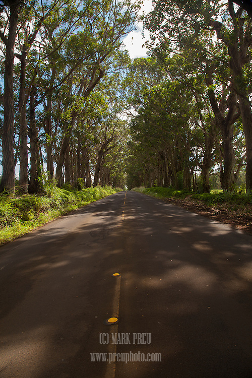 Tall, arching trees line the road headed to Poipu.