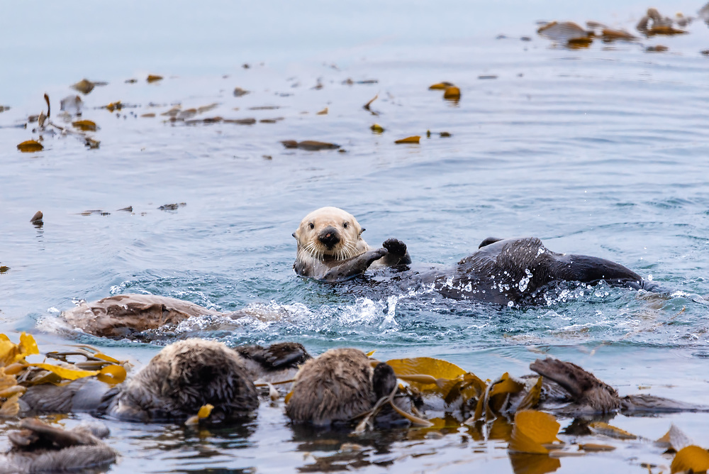 A sea otter pokes his head up while floating with others in the ocean.