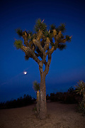 Joshua Tree at twilight at Joshua Tree National Park, Twentynine Palms, CA.