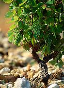 France, vineyard in Chateauneuf-du-Pape, Grape vine in rocky soil