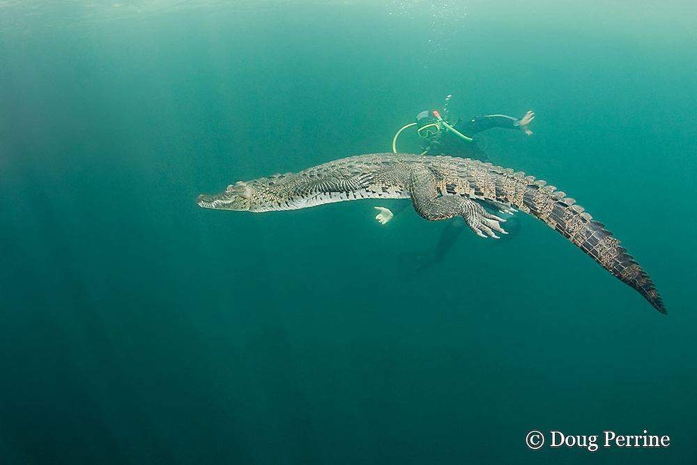 diver and Morelet's crocodile, Central American crocodile, or Belize crocodile, Crocodylus moreletii,  in cenote, or freshwater spring, near Tulum, Yucatan Peninsula, Mexico MR 408
