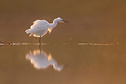 little egret (Egretta garzetta) in the water. Photographed in Ein Afek Nature reserve, Israel in September