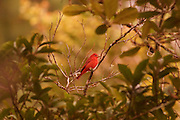 Summer Tanager, Costa Rica Cloud Forest