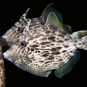 Threadsail filefish (Stephanolepis cirrhifer) bite and latch onto something while they sleep. Here, a pair of these fish are holding onto a rope at about 20m depth while resting. The fish in the background is male. The one in the foreground is female.