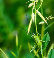 HALFWEG - NYMPH VAN GROTE GROENE SABEL SPRINKHAAN insecten op de golfbaan , Amsterdamse Golf Club. (AGC)  . Insecteninventarisatie  COPYRIGHT KOEN SUYK