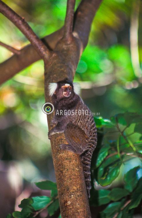 Macaco. / Capuchin Monkey..Foto © Marcos Issa/Argosfoto