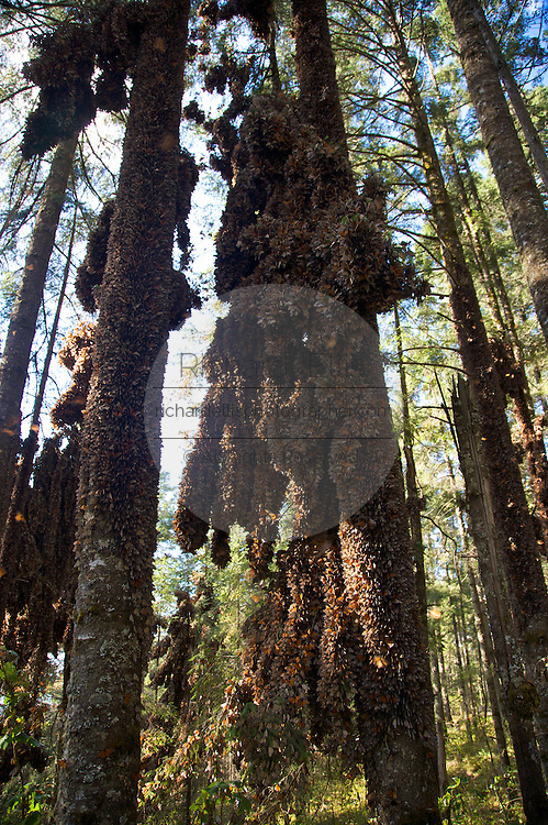 Monarch Butterflies mass on a tree trunk in the Sierra Chincua mountain at the Monarch Butterfly Biosphere Reserve in Sierra Chincua central Mexico in Michoacan State. Each year hundreds of millions Monarch butterflies mass migrate from the U.S. and Canada to Oyamel fir forests in the volcanic highlands of central Mexico. North American monarchs are the only butterflies that make such a massive journey--up to 3,000 miles (4,828 kilometers).