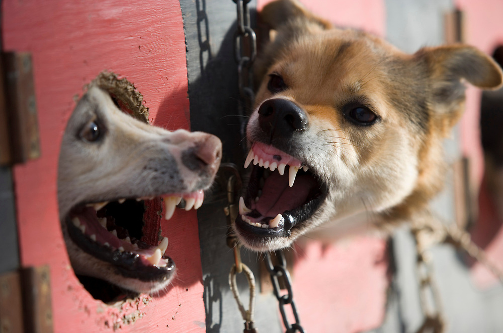 USA, Alaska, Anchorage, Dog snarls and barks at teammate in adjacent window truck kennel before start of 2005 Iditarod sled dog race