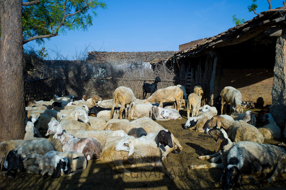 Home farm with sheep and goats in Narlai village in Rajasthan, Northern India