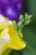 shooting in my garden, capturing Freesia covered in raindrops after a calm gentle rain.