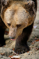 ROMANIA ZARNESTI 27OCT12 - Rescued Eurasian brown bear Jexy at the Zarnesti Bear Sanctuary in Romania, funded by WSPA...With over 160 acres (70 hectares) spread over a wooded hillside, it is Romania's first bear sanctuary and today houses 67 bears rescued from ramshackle zoos and cages at roadside restaurants.......jre/Photo by Jiri Rezac / WSPA..© Jiri Rezac 2012