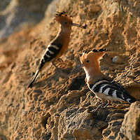 A pair of Madagascar Hoopoes (Upupa marginata) perch outside of their cliffside nest burrow. Isalo National Park, Madagascar.