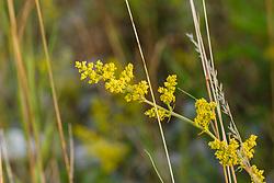 Geel walstro of Echt walstro, Galium verum