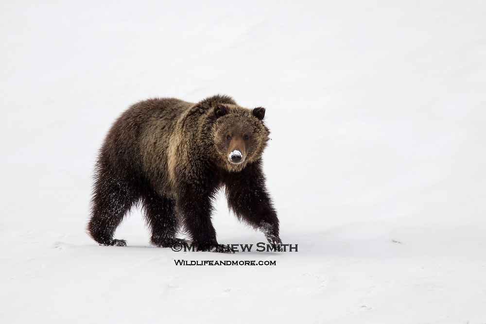Grizzly Bears in Grand Teton National Park just out of hibernation.