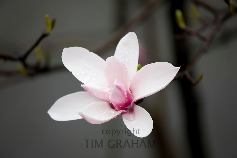 Magnolia flower, the emblem of Shanghai, in bloom in Chongqing, China