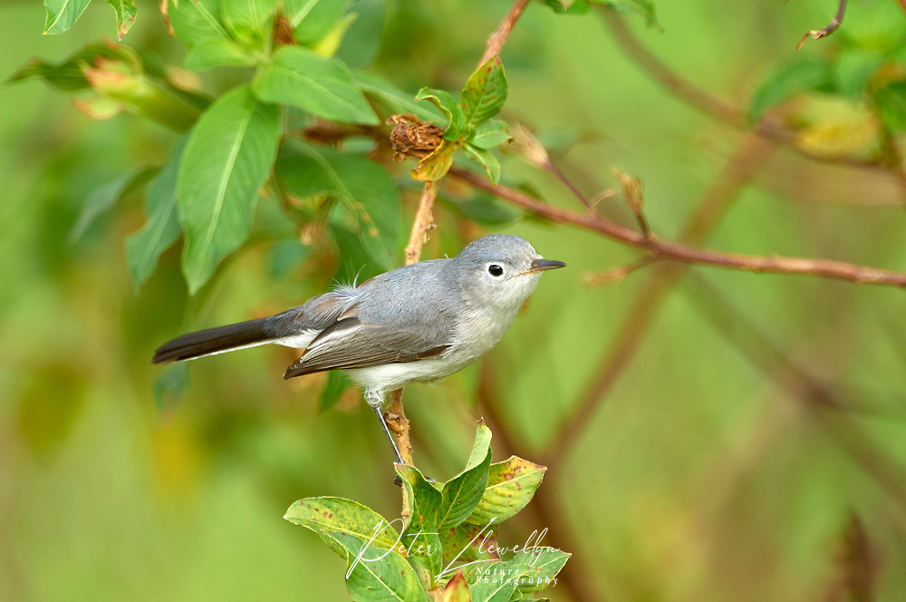 Blue-gray Gnatcatcher (Polioptila caerula) Arthur C Marshall Wildlife Reserve, Loxahatchee, Florida, USA   Photo: Peter Llewellyn