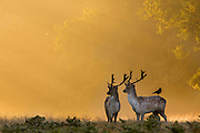 UNITED KINGDOM, London: 02 October 2015 Fallow deer roam the misty grounds of Richmond Park during an Autumnal sunrise this morning. Rick Findler / Story Picture Agency