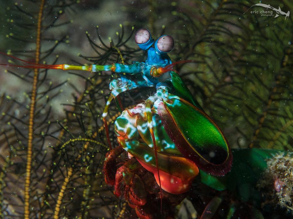 Peacock mantis shrimp (Odontodactylus scyllarus>. Wainilu, Rinca, Komodo National Park, Indonesia.