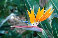 Espagne. Iles Canaries. Tenerife. Puerto de la Cruz. Le jardin botanique. Oiseau du paradis. // Spain. Canary islands. Tenerife. Puerto de la Cruz. Botanical garden. Paradise bird.
