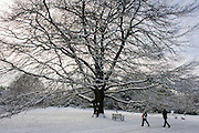 Giant old oak tree in Dulwich Park, south London during mid-winter snow.