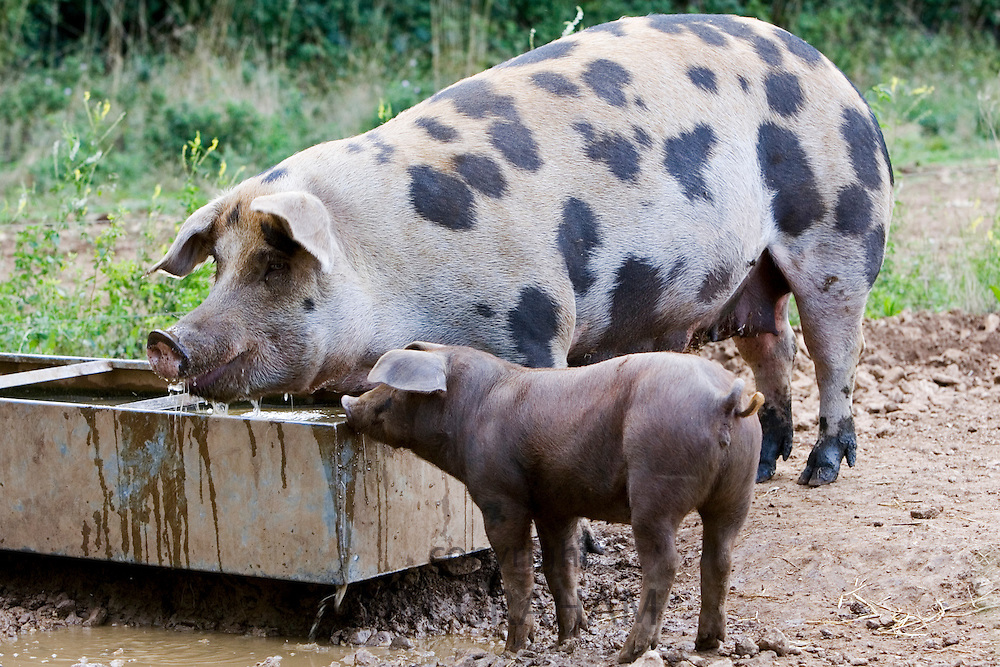 Gloucester Old Spot pig and her piglet feeding, Gloucestershire, United Kingdom