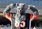 A fan in a wolf costume flexes during the Cincinnati Bengals NFL week 8 football game against the Miami Dolphins on Sunday, October 31, 2010 in Cincinnati, Ohio. The Dolphins won the game 22-14. (©Paul Anthony Spinelli)
