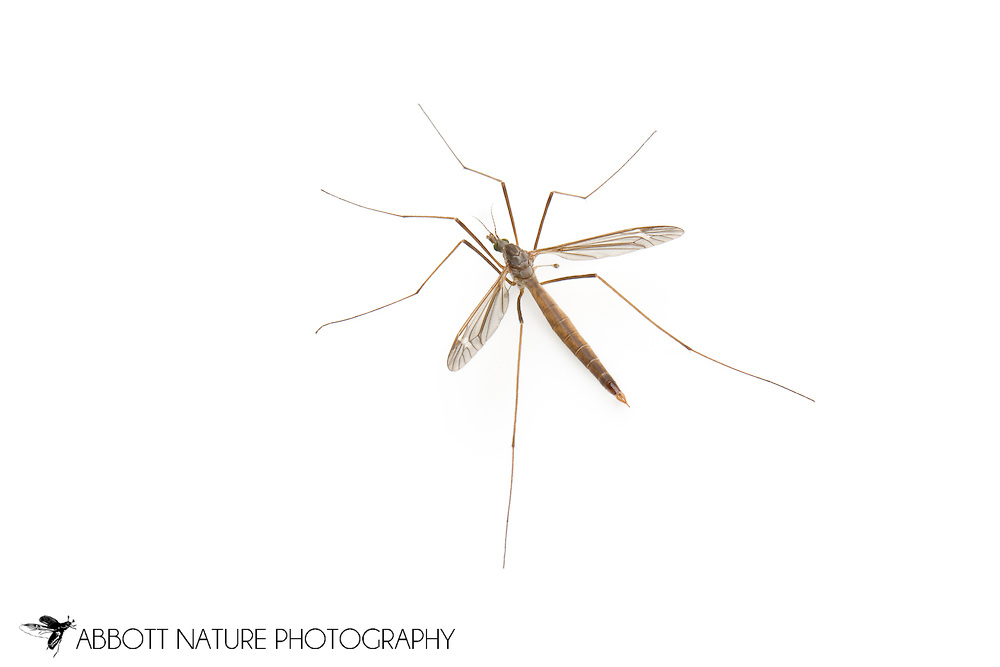 Crane Fly (Tipula Lunatipula texanus group) - male<br /> TEXAS: Travis Co.<br /> Brackenridge Field Laboratory; Austin<br /> 2-March-2012<br /> J.C. Abbott &amp; K.K. Abbott