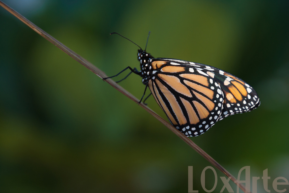 Monarch butterfly (Danaus plexippus) sneaking up a brown branch isolated from a lush green background. The image is available for commercial licensing through Arcangel Images. ID# AA1644966 . Contact LOxArte for Fine Art Prints.