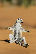Ring-tailed Lemur<br /> Lemur catta<br /> Sun bathing at sunrise<br /> Berenty Private Reserve, Madagascar