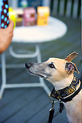 Pharaoh at the lost greyhound Leon's Rescue BBQ