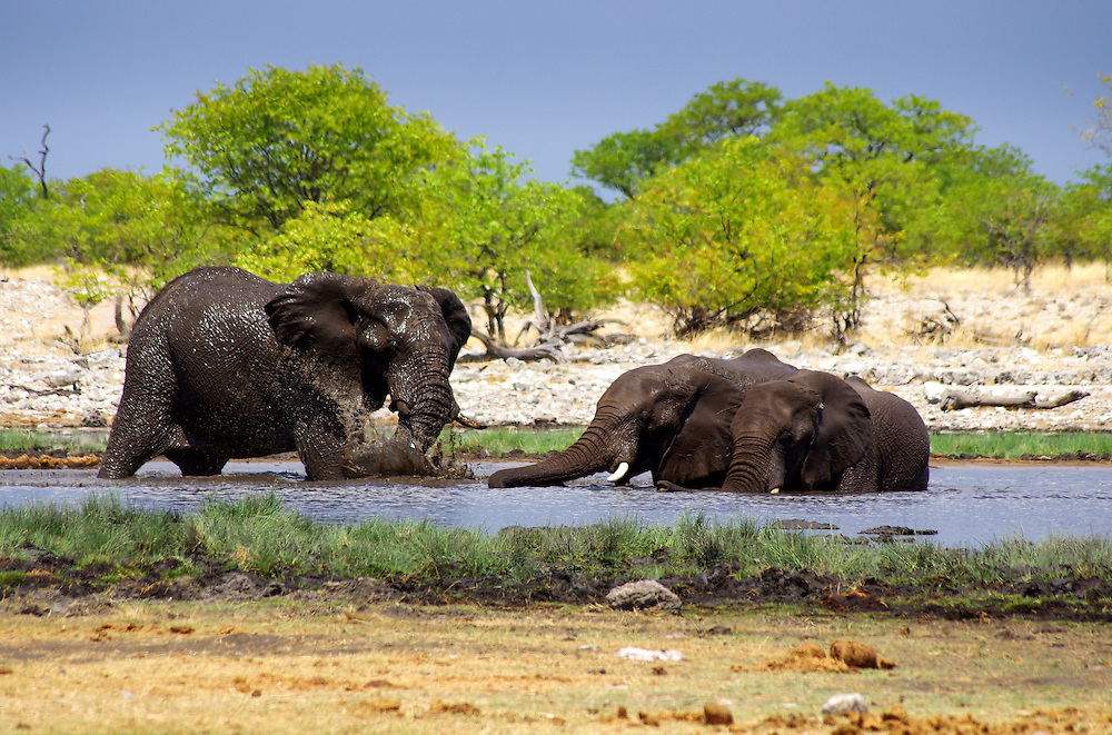 Elephants cool off in a watering hole in Etosha National Park.