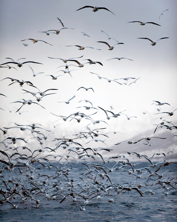 Seagulls (Larus canus), Lofoten, Norway