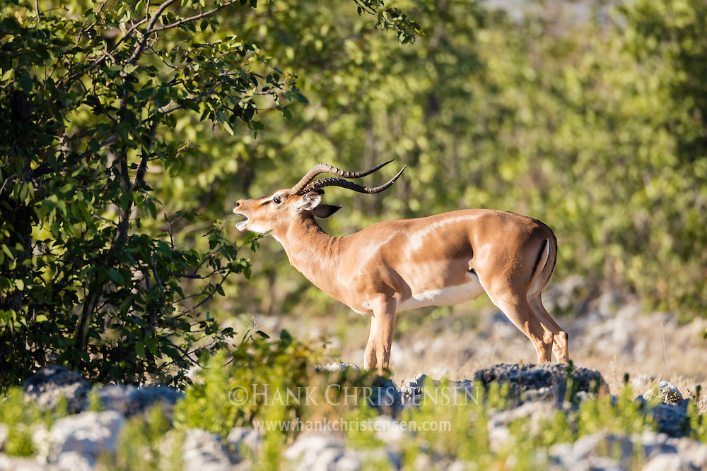 A black-faced impala lets out a call to assert his dominance, Etosha National Park, Namibia.