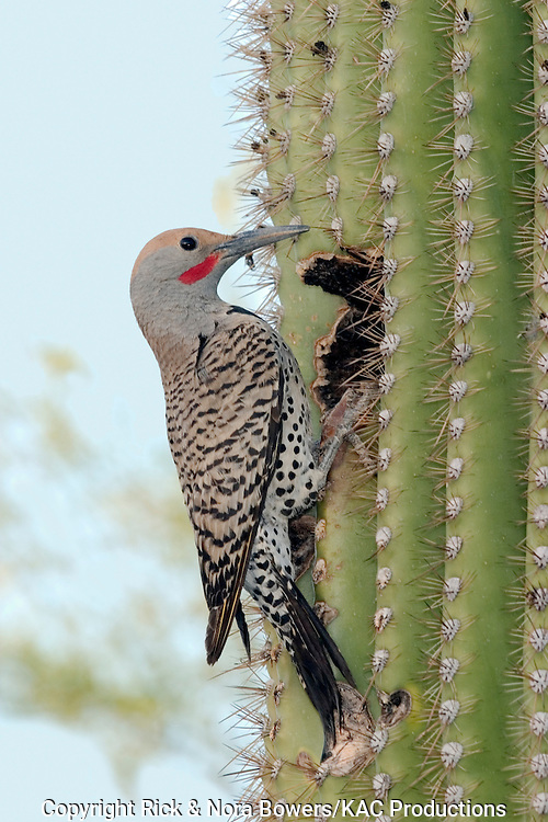 Gilded Flicker.Colaptes auratus.Tucson, Pima Co., ARIZONA, USA.26 April     Adult Male        Picidae
