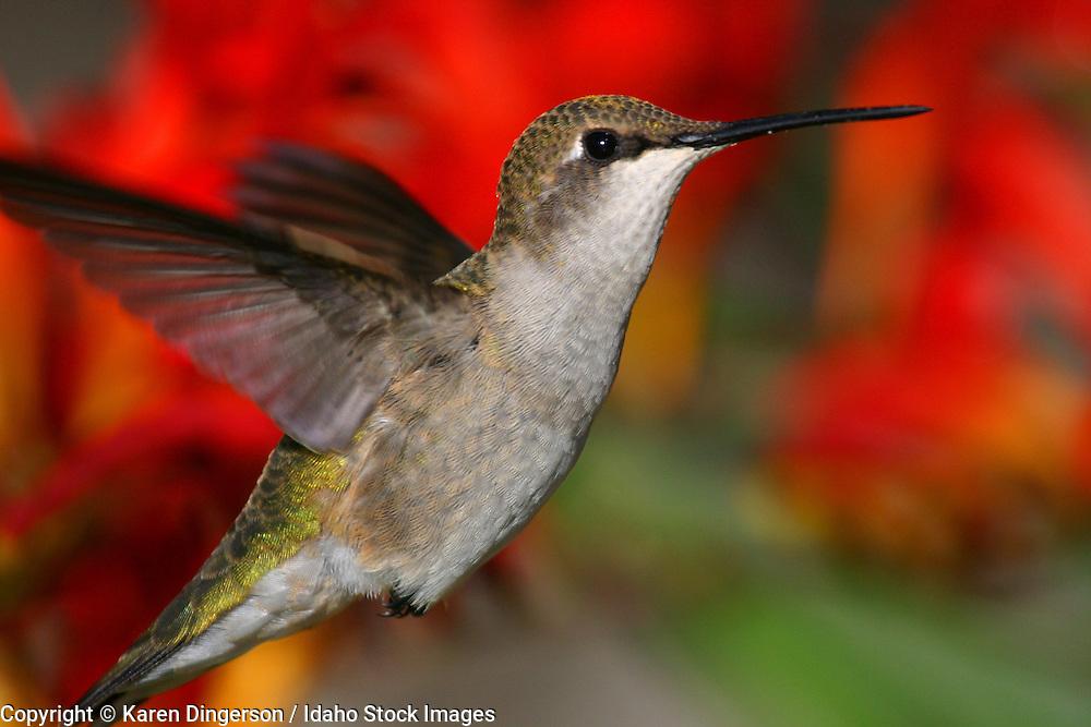 Feeding hummingbird.