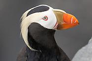 Alaska seabird photos
