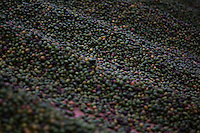 Antigua, Guatemala - March 08, 2015: Workers coffee beans out to dry in the sun at Finca Filadelfia.  At this working coffee plantation, visitors get a firsthand look at each step in the creation of coffee. CREDIT: Chris Carmichael for The New York Times