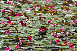 Englefield Green, UK. 27 June, 2019. A moorhen chick picks it way across the Cow Pond, an ornamental lake gilded with four different types of water lily in Windsor Great Park, on a warm, sunny June day. Temperatures are expected to rise in the south of England before the weekend as the heatwave intensifies still further in much of mainland Europe. The Cow Pond was renovated in 2012 to commemorate the Queen's Diamond Jubilee.