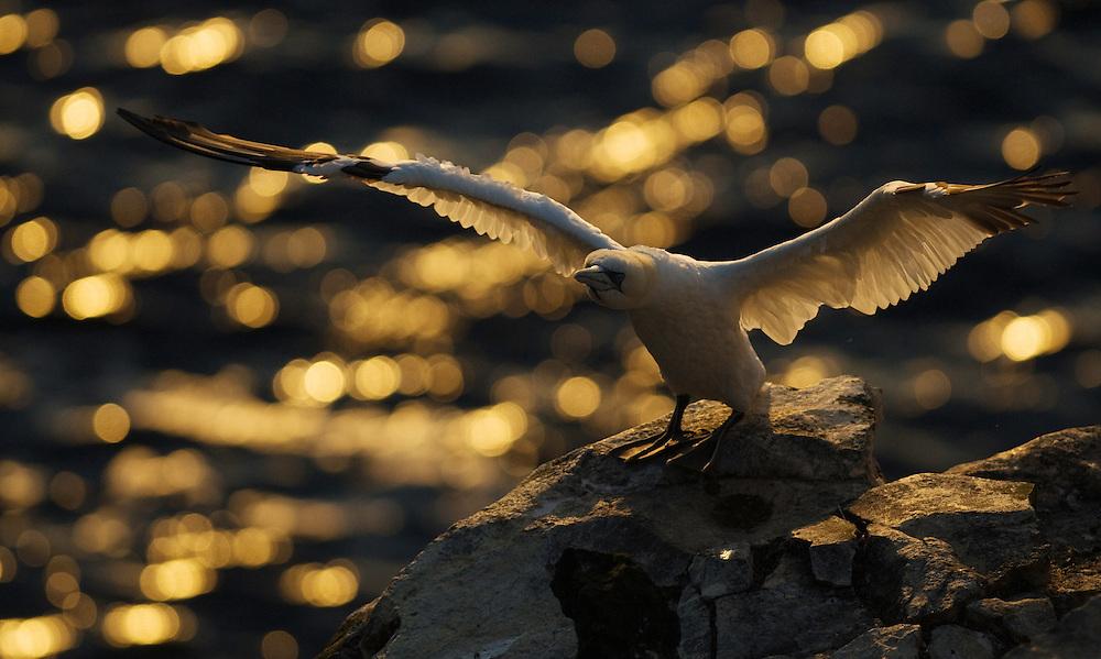 23.07.2008.Northern gannet (Morus bassanus).Langanes peninsula, Iceland