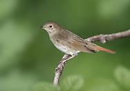 Thrush Nightingale - Luscinia luscinia
