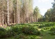 Coniferous pine trees in forestry plantation, Rendlesham Forest, Suffolk, England, UK