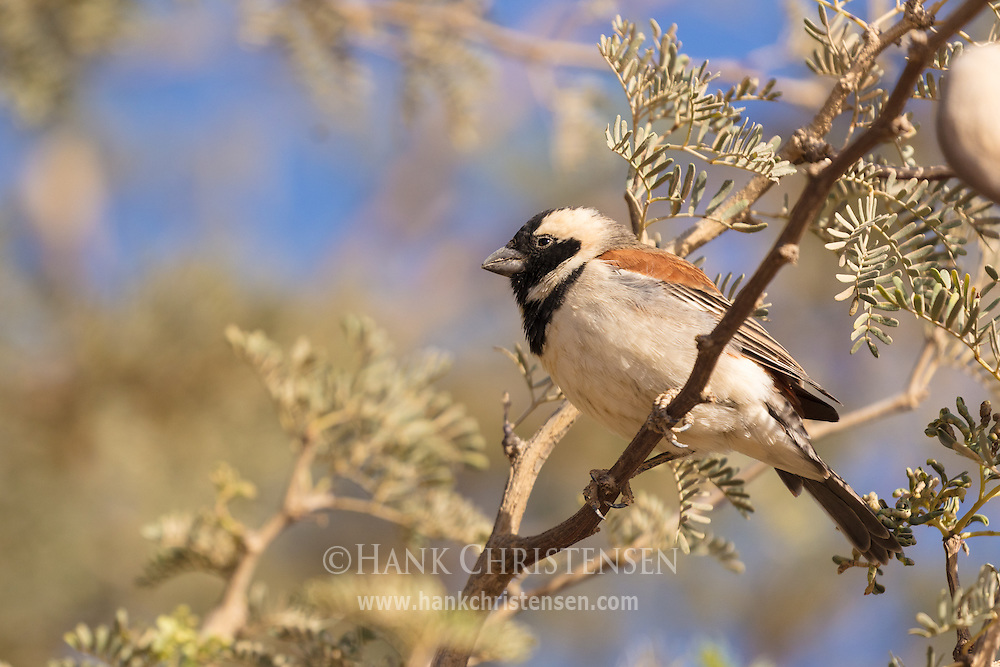 A cape sparrow perches on a narrow branch, Namib-Naukluft National Park, Namibia.