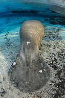 Florida manatee, Trichechus manatus latirostris, a subspecies of the West Indian manatee, endangered. A series of manatees gathering near the warm springs during the bitter cold period of early January 2010. An adult manatee with a few scar injuries rests and tries to stay warm around the warm blue freshwater of the springheads. This adult manatee has comparatively few scars. Vertical orientation with blue water and warming rainbow sun rays. Three Sisters Springs, Crystal River National Wildlife Refuge, Kings Bay, Crystal River, Citrus County, Florida USA.