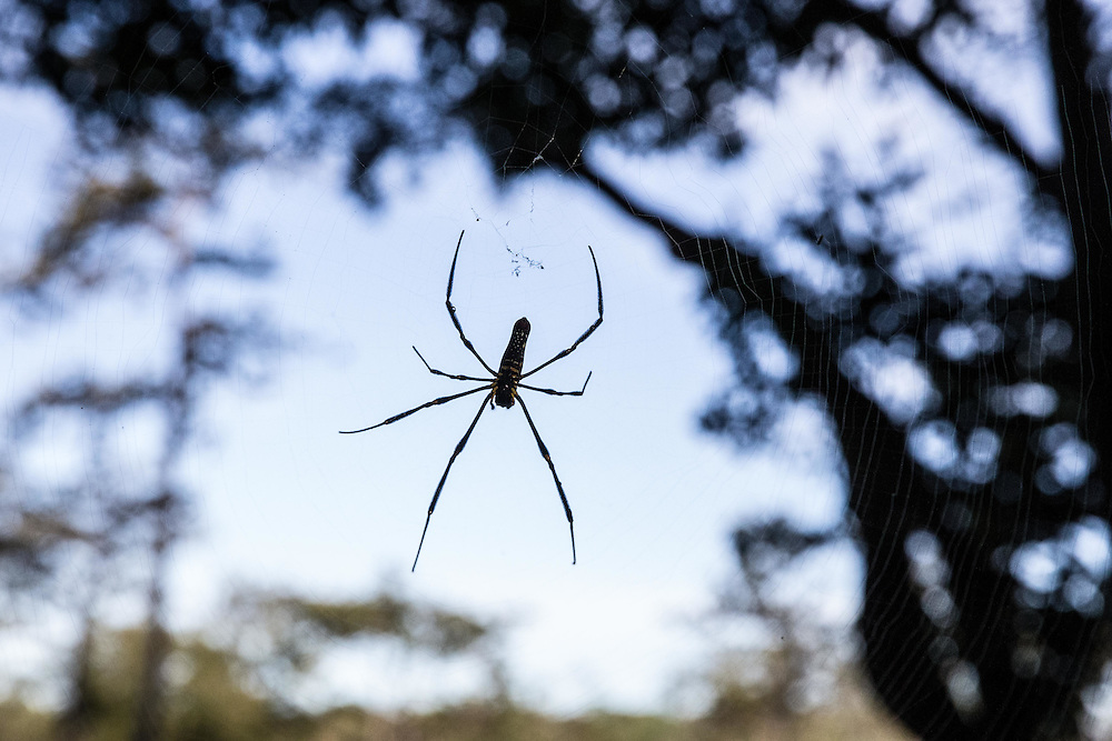 This spider, about the size of your hand, guards the entrance to the jungle from the calling bench - always duck going into the jungle...