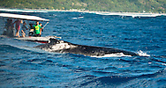 Humpback Whale, (Megaptera novaeangliae), french polynesia, moorea, thaiti, mother with cub swimming together, baby humpback Boat people are watching a humpback whale
