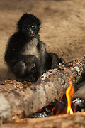 Huaorani Indian's pet White-bellied Spider Monkey (Ateles belzebuth) that lives in their house and warms itself at the fire.<br /> Amazon rainforest, ECUADOR.  South America<br /> They would have hunted the mother for meat and raized the baby as their pet<br /> This Indian tribe were basically uncontacted until 1956 when missionaries from the Summer Institute of Linguistics made contact with them. However there are still some groups from the tribe that remain uncontacted.  They are known as the Tagaeri & Taromanani. Traditionally these Indians were very hostile and killed many people who tried to enter into their territory. Their territory is in the Yasuni National Park which is now also being exploited for oil.