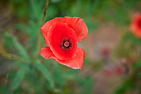 Red Poppy. Image taken with a Leica SL2 camera and 24-90 mm lens.